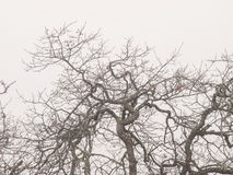 Oak trees in winter fog Stock Photo