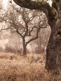 Oak trees in winter fog Stock Image