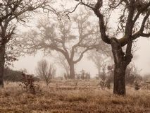 Oak trees in winter fog. White oak trees in a winter woods on a foggy day Stock Images