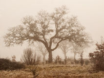 Oak trees in winter fog Royalty Free Stock Image