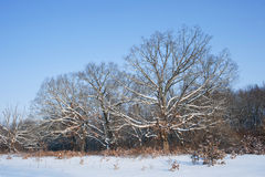 Oak trees in wintertime. Royalty Free Stock Photos