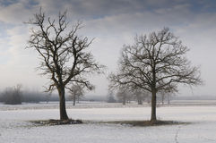 Oak trees in wintry landscape. Scenic view of two bare branched oak trees in snow rural landscape Stock Photo