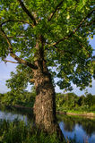 A oak trunk, branches and leafs. The river can also be seen Royalty Free Stock Image