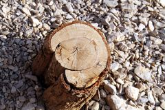 Oak trunk. Cut on the ground royalty free stock photos