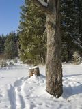 Oak Trunk In Winter Fir Forest Stock Photo