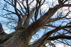 Oak trunk stock photography