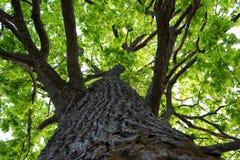 Oak trunk Royalty Free Stock Photos