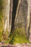 Oak trunk Royalty Free Stock Photo
