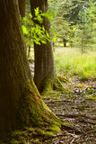 Oak trunks with mosses in summer Royalty Free Stock Image