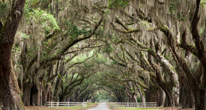 Oak Tunnel. Live oak trees create a tunnel effect Stock Photo