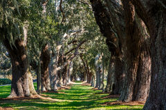 Oak Tunnel with Spanish Moss Stock Photos