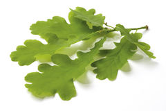 Oak twig. Branch of healthy green oak leaves isolated on white stock photos