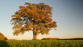 Oak Veveru Stock Photography