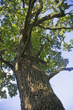 Oak view from below Royalty Free Stock Image