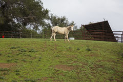 Oak View, California, USA, December 15, white horse in green field Stock Photo
