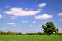Oak in wheat field Stock Images