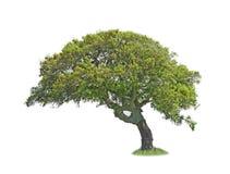 Oak on white Royalty Free Stock Image