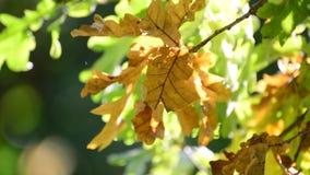 Oak in the wind on sunny autumn day. Oak in the wind on a sunny autumn day stock video
