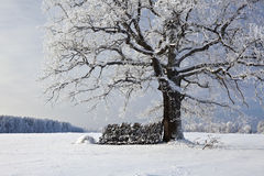 Oak in winter Royalty Free Stock Photos