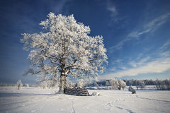 Oak in winter Stock Image