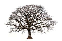 The Oak In Winter Stock Photo