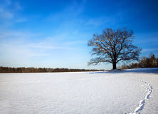Oak. winter Royalty Free Stock Photography