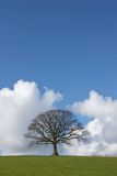 The Oak In Winter Stock Photography