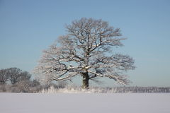 Oak in winter. Big oak i winter landscape. Snow Royalty Free Stock Photo