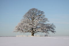 Oak in winter. Big oak i winter landscape. Snow Royalty Free Stock Images