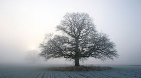 Oak in winter fog. Old big oak in a plain field in southern Norway Royalty Free Stock Photos