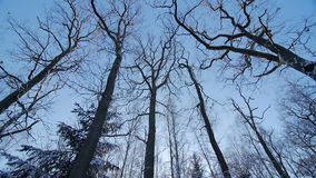 Oak winter forest trees in the snow landscape nature beautiful background. Slow motion stock video