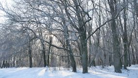 Oak winter forest trees in the snow nature landscape beautiful background stock video footage