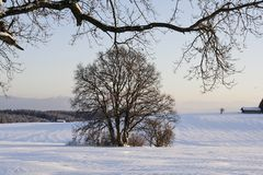 Oak in winter in the snow, Bavaria, Germany stock photography