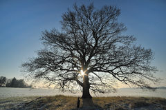 Oak in the wintersun Royalty Free Stock Images