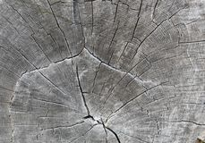 Oak royalty free stock image