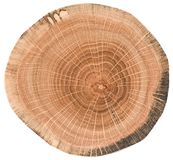 Oak wood texture. Tree slice with growth rings isolated on white background. Top view royalty free stock photo