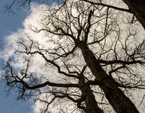 `This oak is only 300 years old. Spring, I will live on. English oak tree without leaves. Tree branches and trunk looks into the blue sky. Oak is widely known royalty free stock image