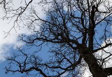 `This oak is only 300 years old. Spring, I will live on. English oak tree without leaves. Tree branches and trunk looks into the blue sky. Oak is widely known stock image