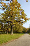 Oak with yellow leaves. Under blue sky Royalty Free Stock Image