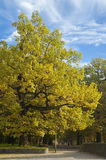 Oak with yellow leaves. Under blue sky Stock Photography