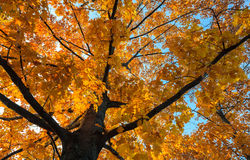 Oak with yellow leaves in autumn Royalty Free Stock Image