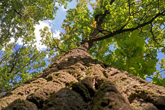 Oak. So you can see if the oak tree lying on the grass and looking up Stock Images