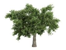 Oak_(Quercus) Stock Photo