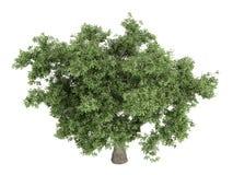 Oak_(Quercus) Stock Photography