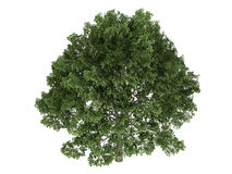 Oak_(Quercus) Stock Photos