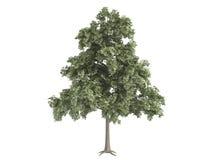 Oak_(Quercus_petraea) Stock Image