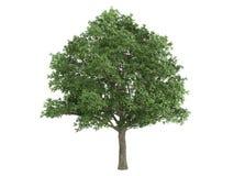 Oak_(Quercus_robur) Royalty Free Stock Photo