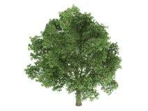Oak_(Quercus_robur) Stock Photo