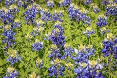 Oakalla-Bluebonnets Stockfoto