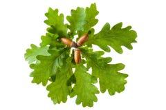 Oaken fattar med leaves och ekollonar Arkivfoton